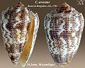 Conus arenatus 2.jpg