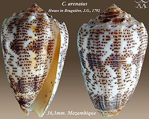 Conus arenatus - Apertural and abapertural views of shell of Conus arenatus Hwass in Bruguière, J.G., 1792