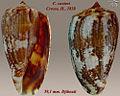 Conus cuvieri 2.jpg
