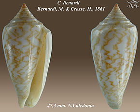 Description de l'image Conus lienardi.jpg.