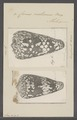 Conus nocturnus - - Print - Iconographia Zoologica - Special Collections University of Amsterdam - UBAINV0274 086 01 0010.tif