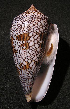 Conus textile - Apertural view of Conus textile textile forma archiepiscopus