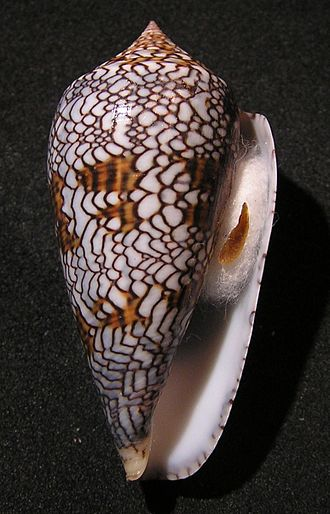 Cylinder (gastropod) - Apertural view of shell of  Cylinder textile (Linnaeus, 1758) form archiepiscopus, which: synonym of  Conus textile Linnaeus, 1758