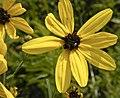Coreopsis tripteris — Frank Mayfield 006.jpg