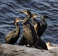 Cormorants in La Jolla (70612).jpg