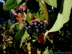 Sanguinyol, fruit