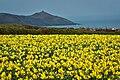 Cornwall Daffodils.jpg