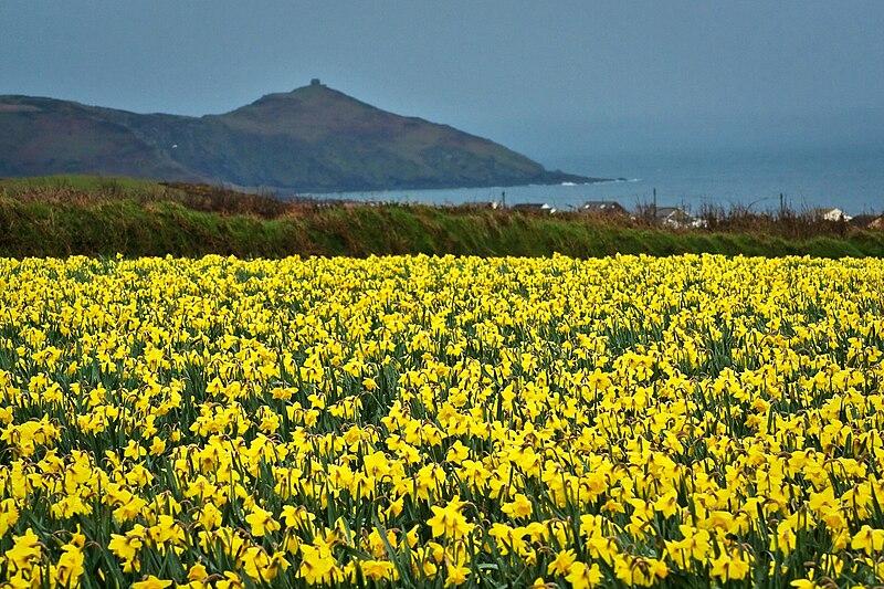 File:Cornwall Daffodils.jpg