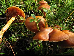 Cortinarius gentilis group.jpg