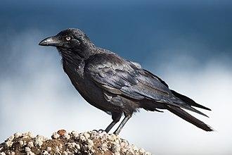 Australian raven - Image: Corvus coronoides Doughboy Head
