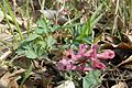 Corydalis paczoskii.jpg