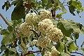 Corymbia foelscheana buds.jpg