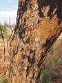 Corymbia setosa bark.jpg