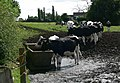 Cosby cows - geograph.org.uk - 509662.jpg