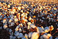 Cotton field kv23.jpg
