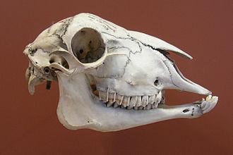 Sheep - Skull