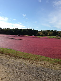Cranberry Harvest in Massachusetts