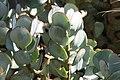 Crassula arborescens 2zz.jpg