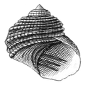 Cremnoconchus syhadrensis shell.png