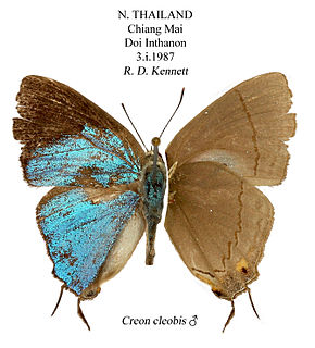 <i>Creon</i> (butterfly) genus of insects