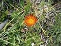 Crepis aurea004.jpg