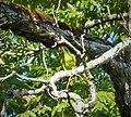 Crimson-fronted Parakeet. Aratinga finschi (1) - Flickr - gailhampshire.jpg