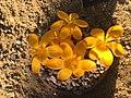 Crocus gargaricus subsp. gargaricus 01.jpg