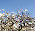 Cross Cherry Blossoms Kamakura Japan.jpg