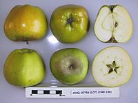 Cross section of Cinq Cotes (Lot), National Fruit Collection (acc. 1949-146).jpg