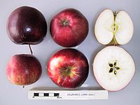 Cross section of Delgrared, National Fruit Collection (acc. 1999-009).jpg