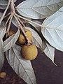 Croton malabaricus 22.jpg