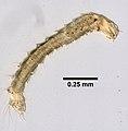 Ctenocephalides felis (YPM IZ 099582) 002.jpeg