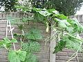 Cucurbita moschata (zapallo espontáneo) flor fruto F04 dia04 pétalos marchitos orientación hábito.JPG