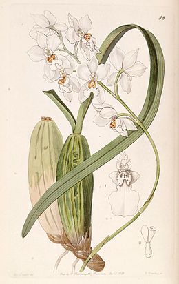 Cuitlauzina pulchella or Odontoglossum pulchellum or Osmoglossum pulchellum - Edwards vol 27 (NS 4) pl 48 (1841)