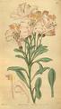 Curtis's Botanical Magazine, Plate 3105 (Volume 58, 1831).png