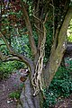 Cutback ivy tree climbing stems at Woods Mill, Sussex Wildlife Trust, England.jpg