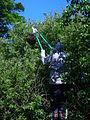 Cutting away the surrounding foliage.JPG