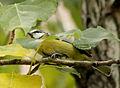 Cyanistes caeruleus (Madrid, Spain) 002.jpg