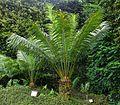 Cycas circinalis Furnas 2015 (01).jpg