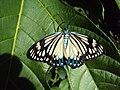 Cyclosia papilionaris - Drury's Jewel - at Peravoor (5).jpg