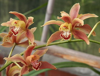 Cymbidium - Cymbidium iridioides in the Dresden Botanic Garden