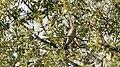 DSC 7510 Gobemouche gris Muscicapa striata (50158030196).jpg