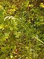 Dactylius glomerata, Poaceae 02.jpg