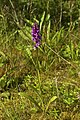 Dactylorhiza maculata LC0299.jpg