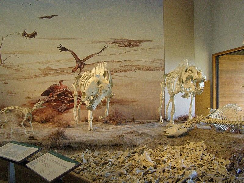 File:Daeodon (Miocene) P7180294.jpg