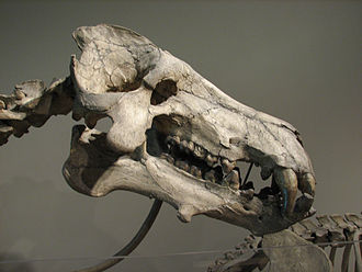 Daeodon - A skull of Daeodon shoshonensis at the Carnegie Museum of Natural History.