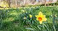 Daffodil (6866355962).jpg