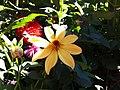 Dahlia with beam of light.jpg
