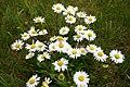Daisy Flower Variety.jpg