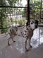 Dalmatian victor.jpg